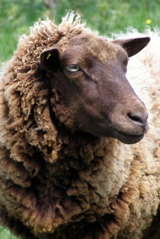 A_brown_ewe_portrait