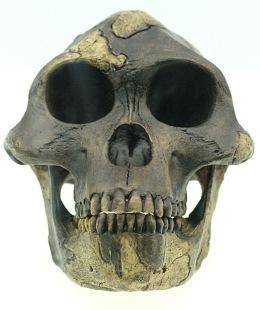 Australopithecus_afarensis_reconstruction (1)